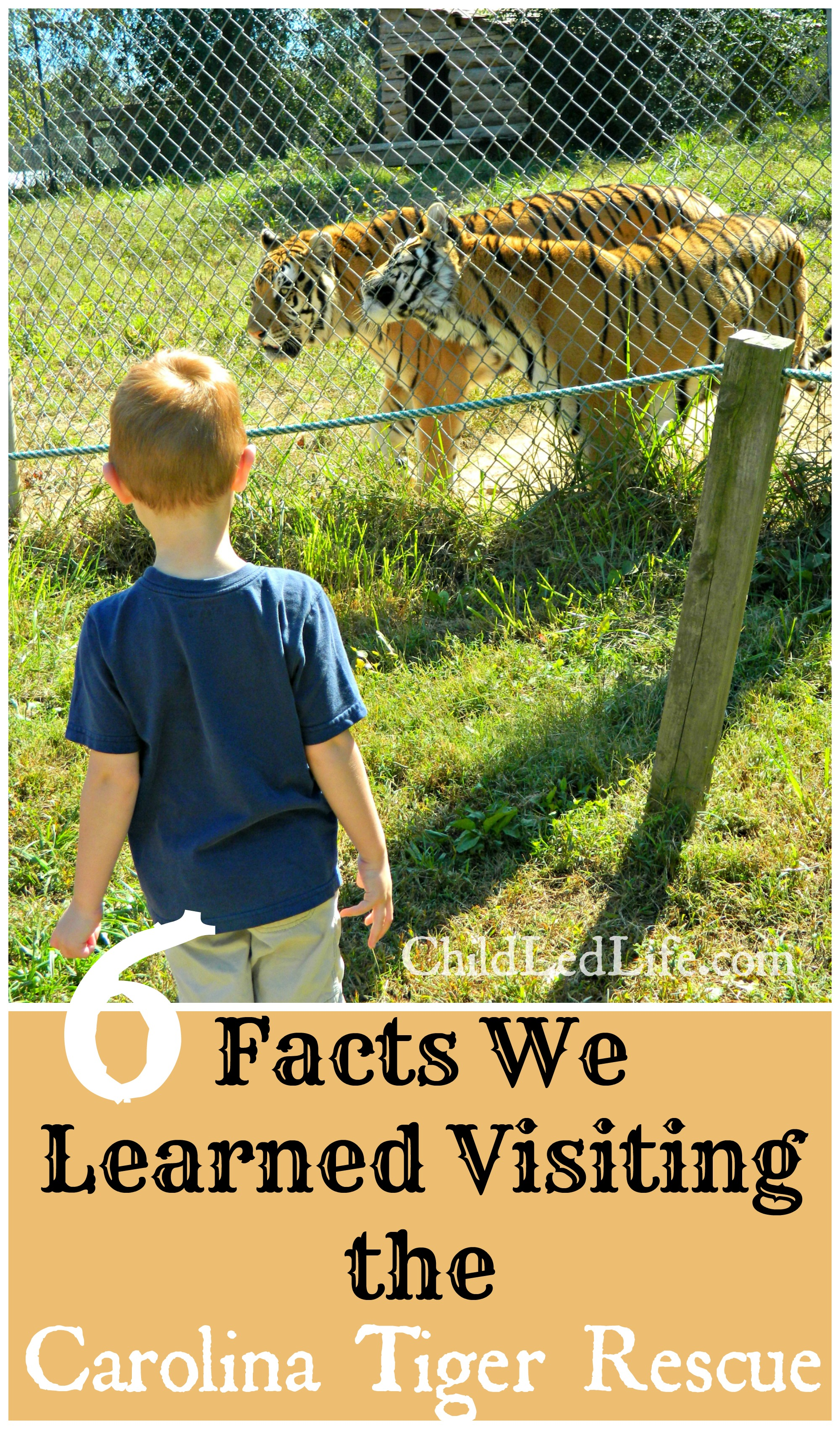 6 Facts We Learned Visiting the Carolina Tiger Rescue